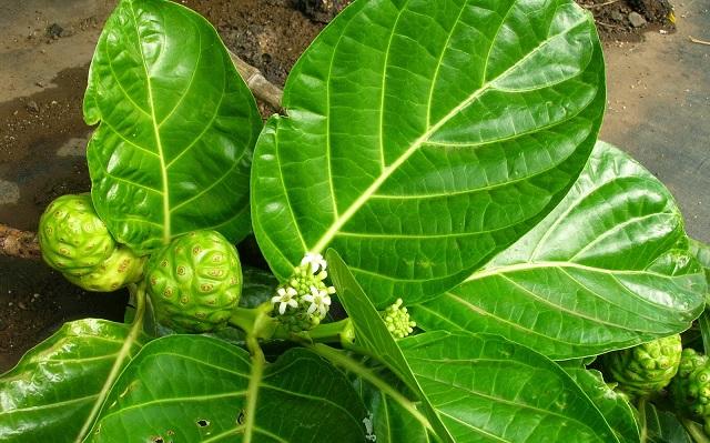 Hoa cây ba kích