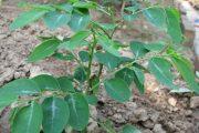 cây rau ngót