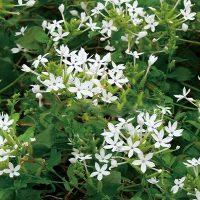 cây bạch hoa xà