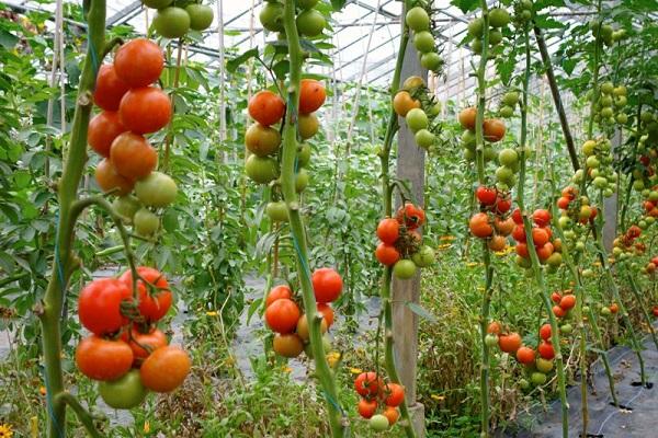 Kết quả hình ảnh cho cà chua