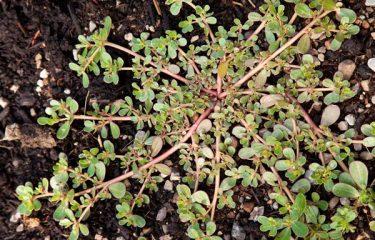cây rau sam