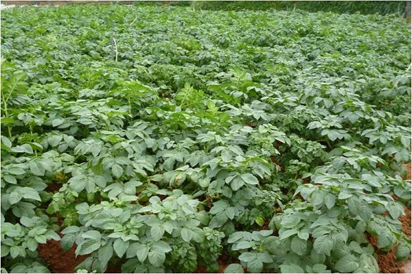 cây khoai tây