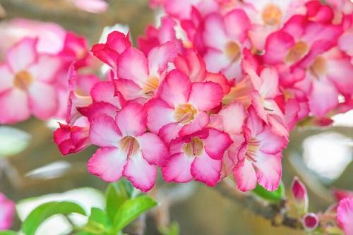 hoa đỗ quyên đỏ