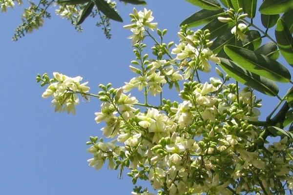 hoa hòe có tác dụng gì