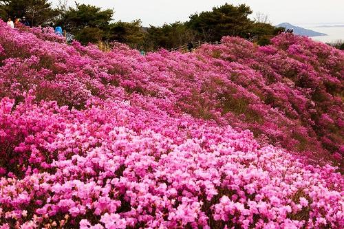 Rực rỡ cánh đồng hoa đỗ quyên
