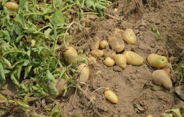 tác dụng của khoai tây