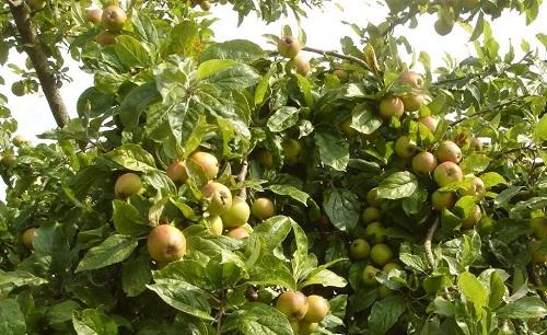 cây táo mèo
