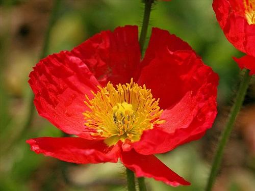 hoa anh túc đỏ