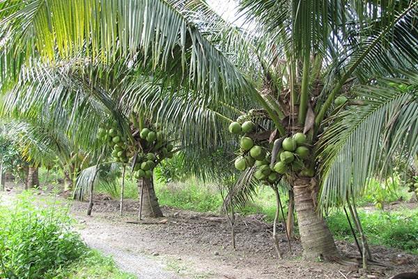 Cây dừa nguyên liệu làm dầu dừa
