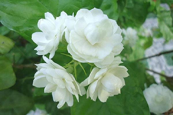 Cây hoa lài hay Hoa nhài với 17 công dụng trị bệnh thú vị