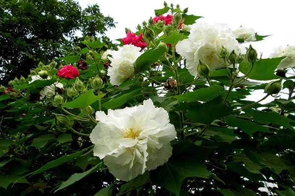 Cây hoa phù dung
