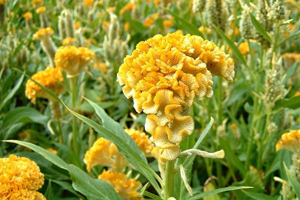 Cây hoa mào gà trị bệnh gì