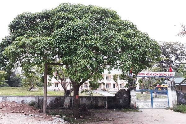 Cây ngô đồng thân gỗ