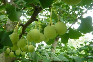 Công dụng của cây bạch quả
