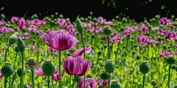 Công dụng của cây hoa anh túc