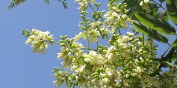 Công dụng của cây hoa hòe