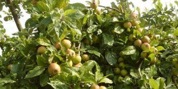 Công dụng của cây táo mèo