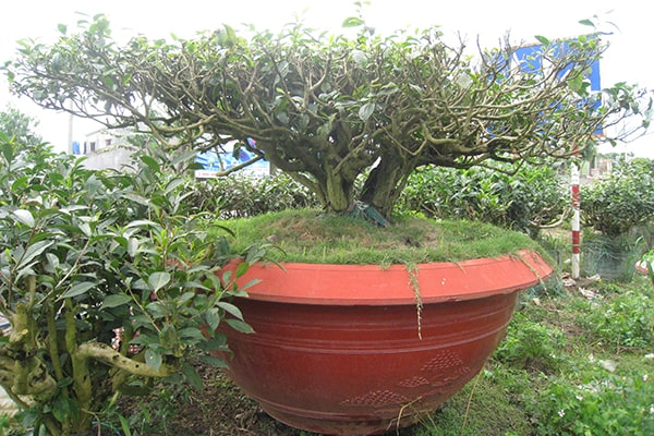 Công dụng của cây trà xanh