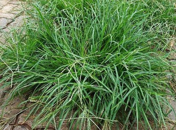 Công dụng của cỏ mần trầu