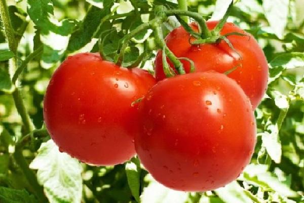 Công dụng của quả cà chua