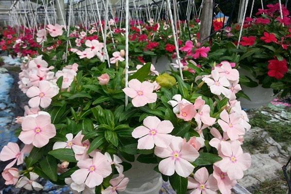 Hoa dừa cạn đẹp