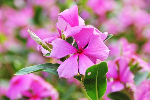 Hoa dừa cạn hồng
