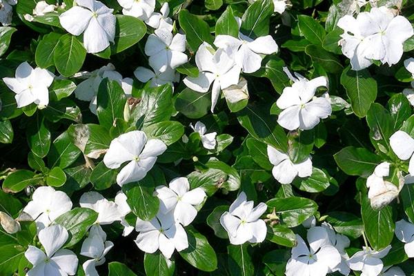 Hoa dừa cạn trắng