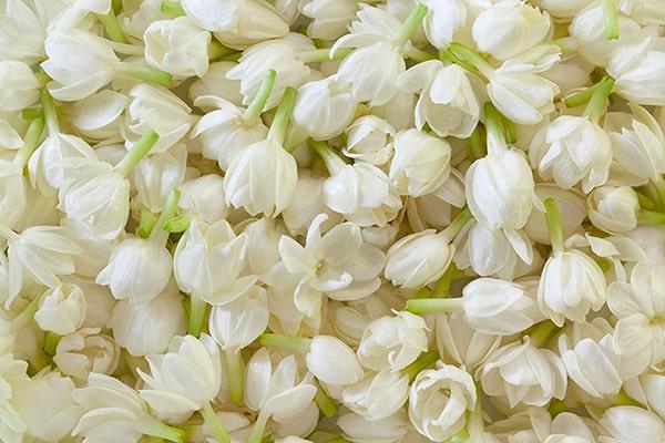 Hoa lài trị bệnh gì