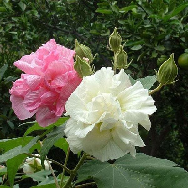 Hoa phù dung có công dụng gì