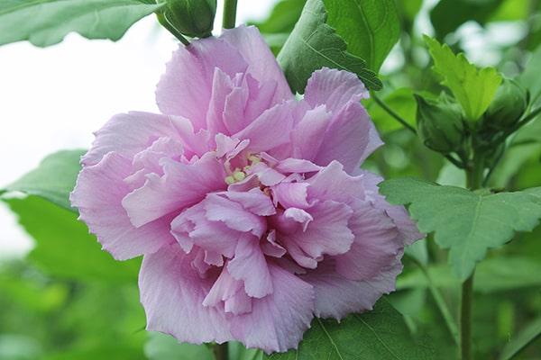 Hoa phù dung đẹp