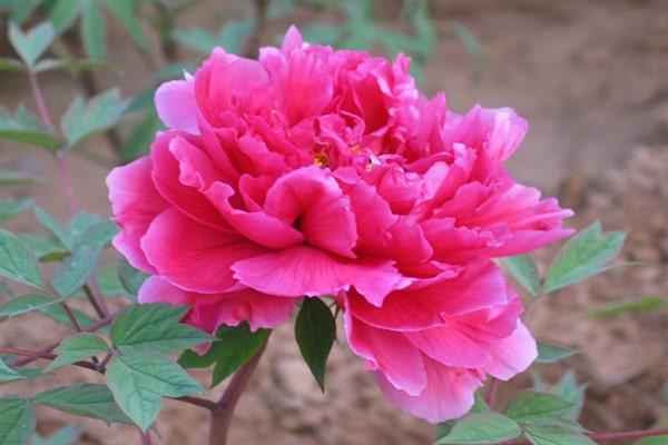 Hoa phù dung đỏ