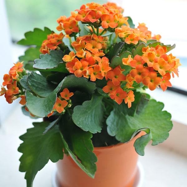 Hoa sống đời cam