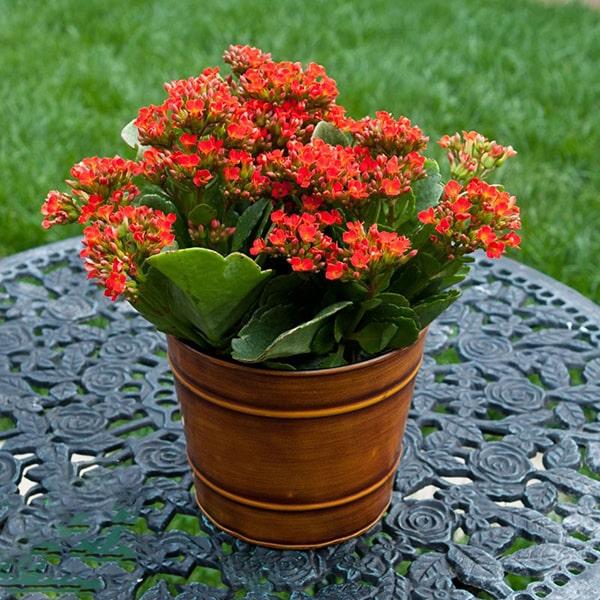 Hoa sống đời đỏ
