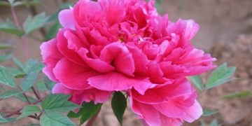 tác dụng của cây hoa phù dung