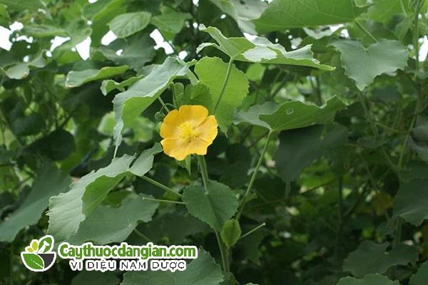 Cây cối xay chữa bệnh gì