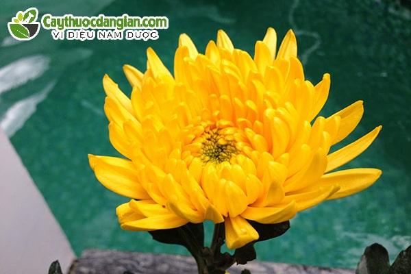 Hoa cúc chữa sâu răng