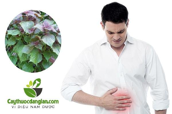 Tía tô chữa đau dạ dày