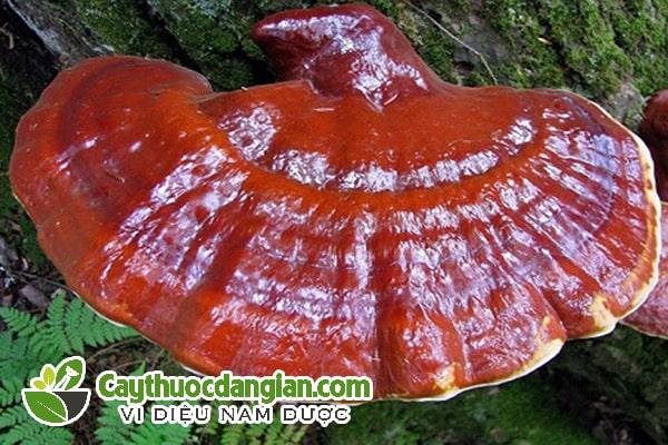 Nấm lim xanh Quảng Nam tự nhiên
