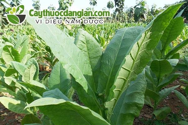 Cây thuốc lá được trồng phổ biến