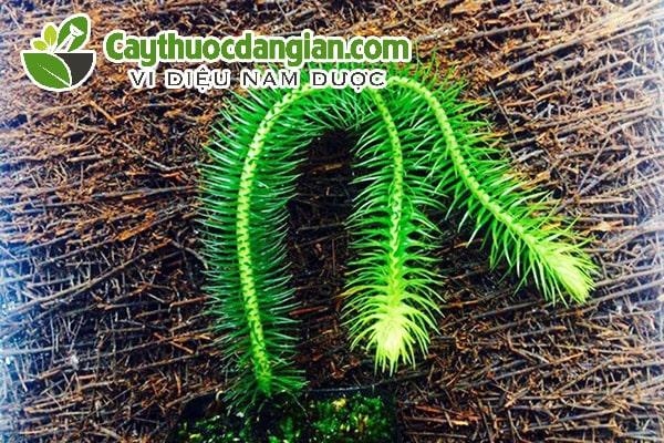 Hình ảnh cây thông đất
