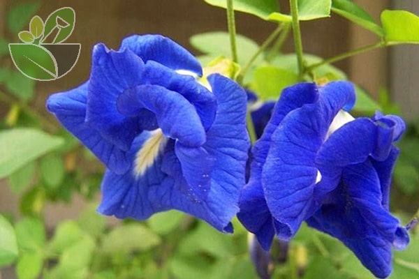 Hoa đậu biếc