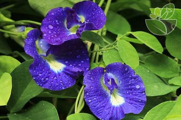 Tác dụng của hoa đậu biếc