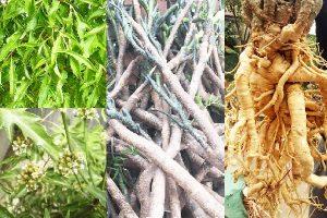 Cách sử dụng lá, củ và thân cây đinh lăng
