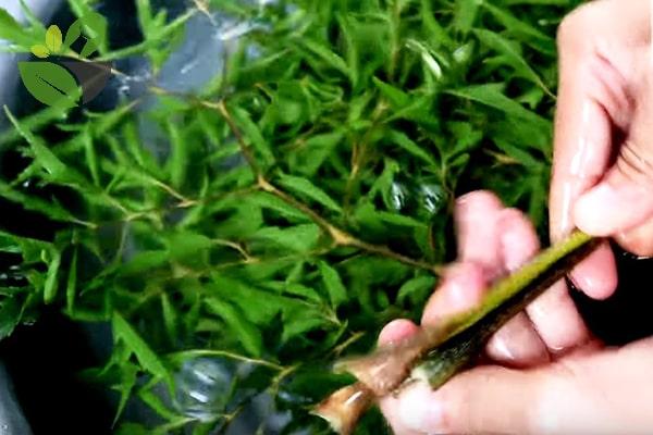 Rửa sạch lá đinh lăng nấu nước uống