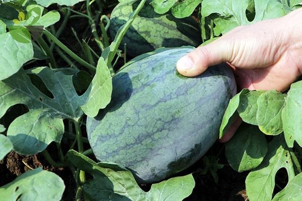 Cây dưa hấu được trồng phổ biến ở khắp các vùng miền nước ta