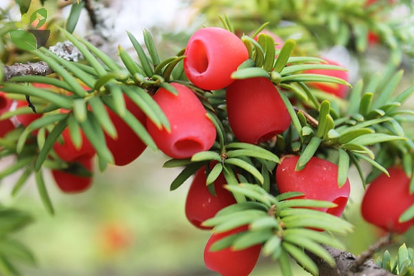 Cây thông đỏ