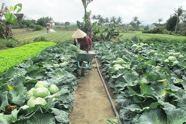 Vườn bắp cải