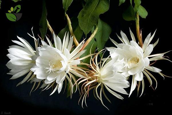 Tác dụng của hoa quỳnh