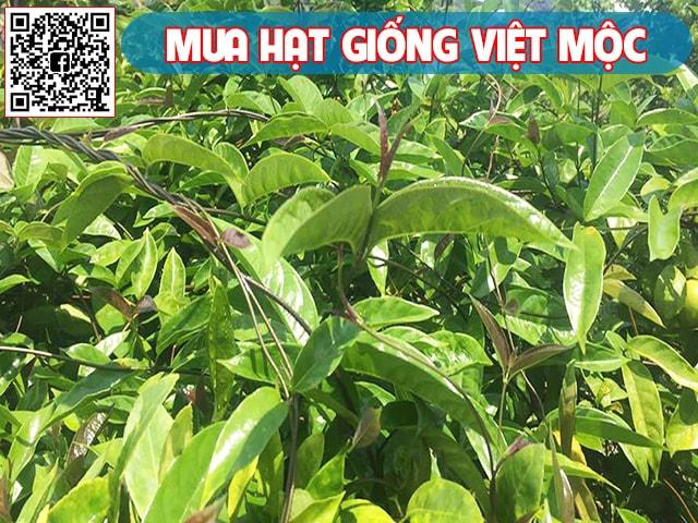 Đặc điểm cây ba kích Hà Giang